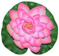 Fancy Floral Floating Lotus - Lite Rose
